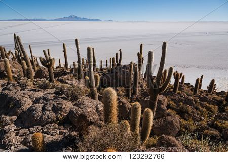 Incahuasi island  (Cactus Island) located on Salar de Uyuni,  the world's largest salt flat area, Altiplano, Bolivia, South America