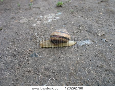 The usual snail crawling on the ground after the rain.