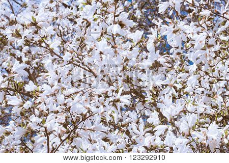 White Magnolia Flowers In Spring, in front of blue sky