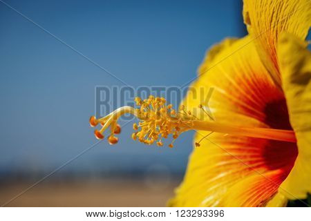 Stamens And pistil of a yellow Hibiscus flower against the blue sky. Image features a closeup view with a shallow depth of field.