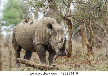 Specie Ceratotherium simum simum family of Rhinocerotidae, southern white rhinoceros in the bush in Kruger park
