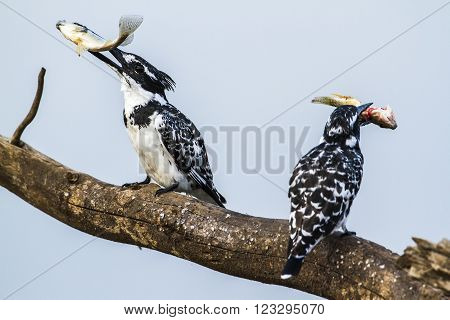 Specie Ceryle rudis family of Alcedinidae, pied kingfisher eating a fish in Kruger park