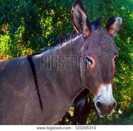 One and half eared Wild Donkey Stallion in Custer State Park in the Black Hills of South Dakota USA