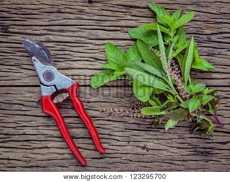 Branch Of Fresh Herbs From The Garden. Holy Basil Flower ,oregano, Sage And Mint With Garden Pruner