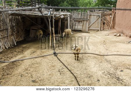 Enclosed Navajo Churro Sheep Pen with Lonely Sheep in El Rancho de las Golondrinas