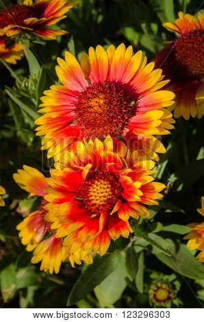 Beautiful and multicolored Indian or Goblin Blanket Flowers