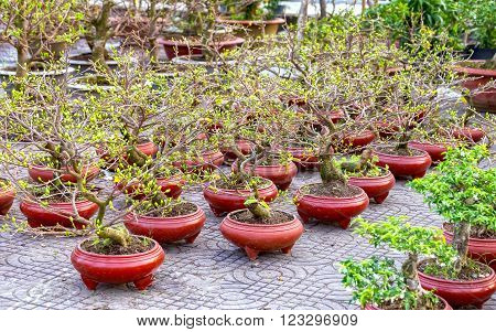 The apricot flower pots in the garden with bonsai pots apricot flower buds Designs prepare it to welcome the coming spring with Vietnam Lunar New Year