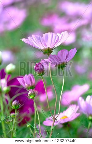 Cosmos Bipinnatus flowers in the garden with the flowers symbolize a happy family together in the beautiful garden and romance with father, mother and children under warm