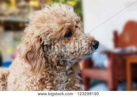 Dog poodle haired brown  on the house.