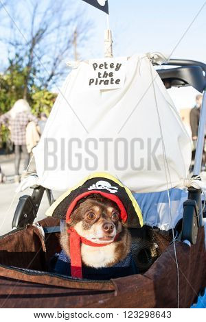 ATLANTA, GA - DECEMBER5 2015:  A dog dressed like a pirate sits in a baby stroller outfitted like a pirate ship at the conclusion of a dog costume parade in Atlanta, GA on December 5, 2015.