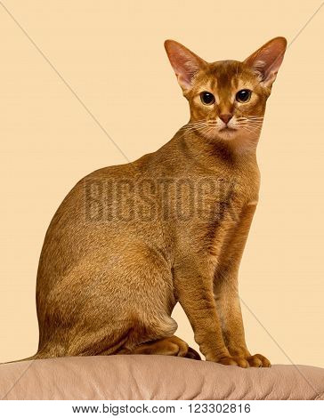 Red sorrel short haired Abyssinian cat sitting