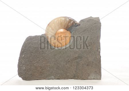 colorful ammonite crystal shell fossil in sedimentary rock