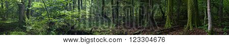 Summertime old rich stand of Bialowieza Forest in morning, Bialowieza ForestPolandEurope