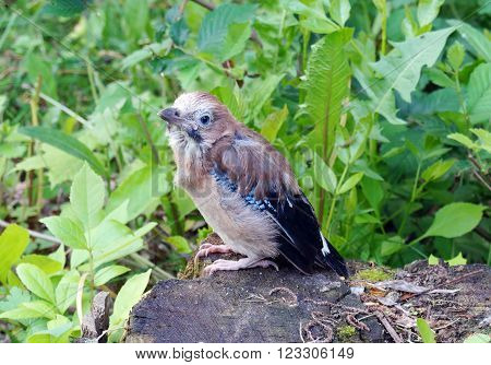 Nestling jays off from the nest sitting on a tree stump