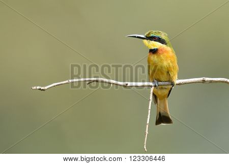 Little-Bee Eater (Merops pusillus) perched on  stick