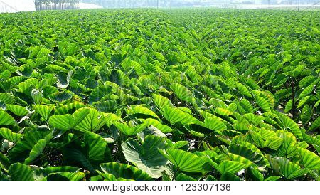 A large field planted with taro in Taiwan