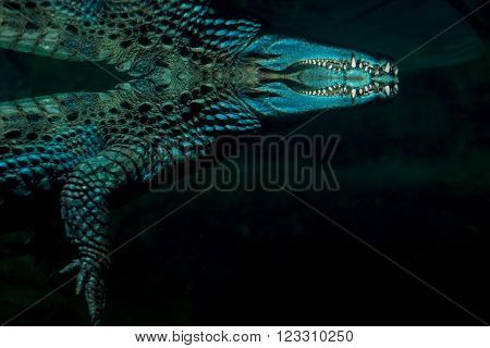brown crocodile with sharp teeth floating in a pond