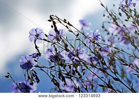 Flowering Flax ( Línum) is a genus of plants of the linaceae family (Linaceae). Blue flowers against the sky big
