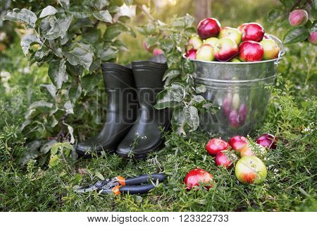Gardener tools set  on green garden grass. Apple harvest, garden pruner, rubber boots in organic apple orchard.  Gardener tools and ripe apples side view.