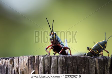 Eastern Lubbers sitting on a log. Black and yellow grasshoppers