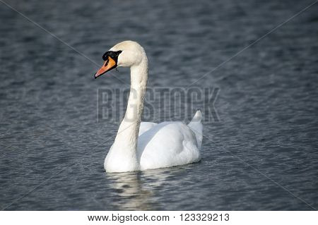 Floating on the lake single mute swan