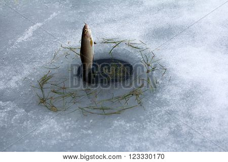 Spring Fishing. Grayling Fishing From Melted Ice Hole