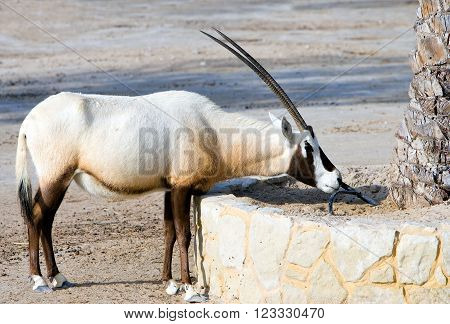 Bahrain, an arabian oryx  in the  Al Areen Wildlife Park, in the outskirts of Manama