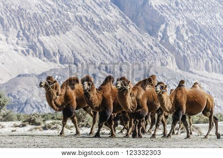 The big Camel at Nubra valley, India