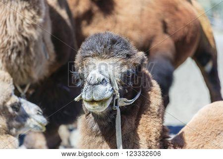 Big Camel at Nubra valley in North India