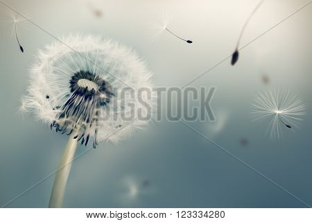 Dandelion flying seeds in the wind against light background. Oil painting effect.