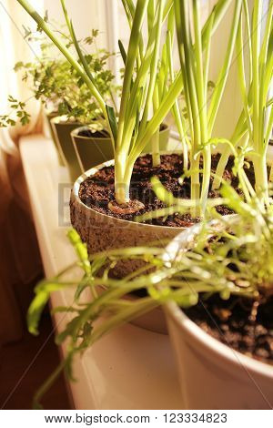Young plant of onion growing in pot on windowsill