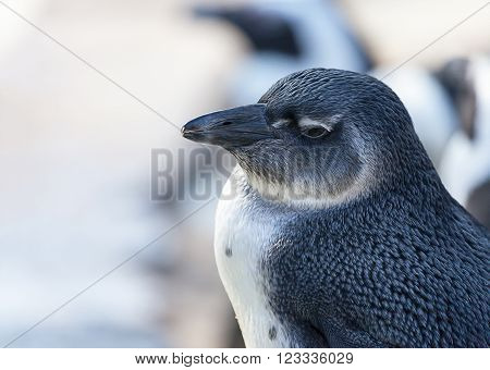 a young penguin looks to the left