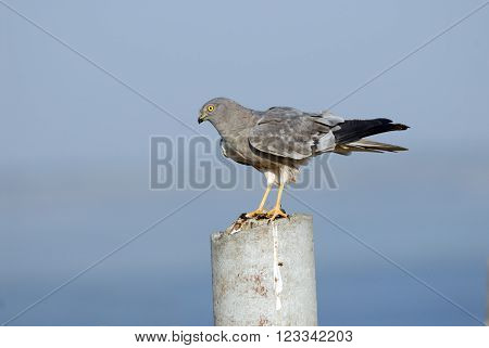 Perching male Montagu Harrier (Circus pygargus). Saratov region Russia