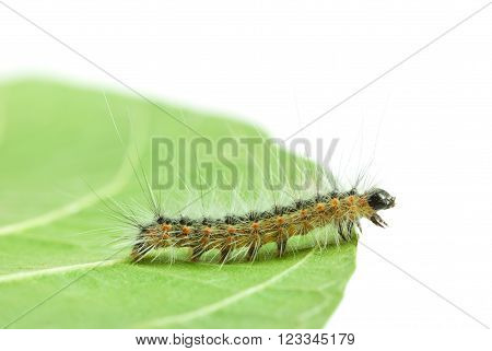 Macro of Hyphantria cunea larva crawling on leaf isolated on white
