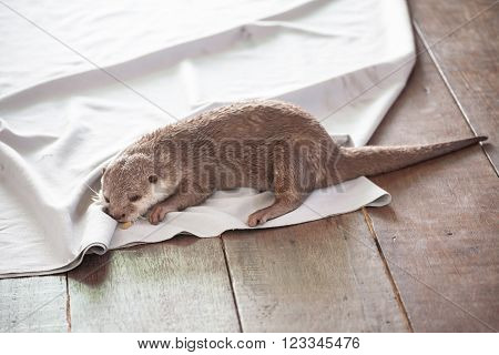 Otters lying on a white cloth portrait