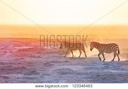 Two zebras walking on dusty wilderness of Amboseli National Park