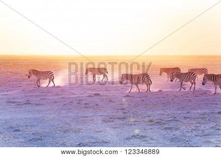 African zebras walking on dusty plains at the sunset, Kenya, Amboseli National Park