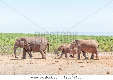 An African Elephant cow, Loxodonta africana, with her two calves
