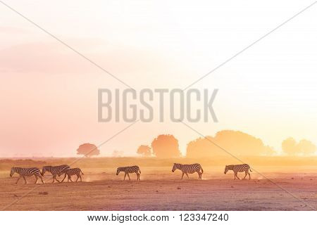 Zebras herd walking on dusty savanna at sunset, Amboseli National Park, Africa