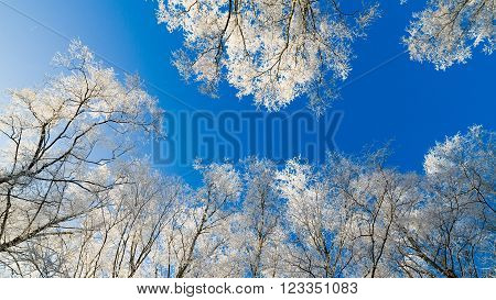 The tops of trees covered with hoarfrost against the blue sky