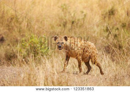 A spotted hyena, crocuta crocuta, stands alert in dried grass, Kenya Africa