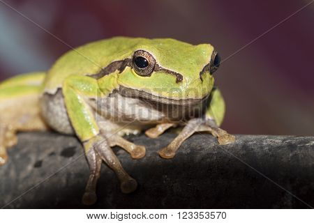 green frog sitting on a branch and looking ahead