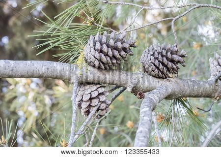 Dry and open pinecones in the tree