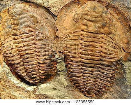 detail of old prehistoric fossils fossil - trilobite