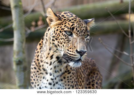 Persian leopard (Panthera pardus saxicolor), known as the Caucasian leopard