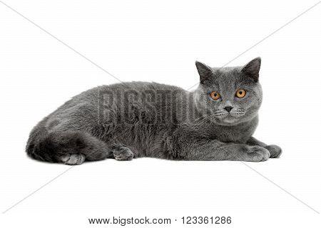 gray cat with yellow eyes isolated on white background. horizontal photo.