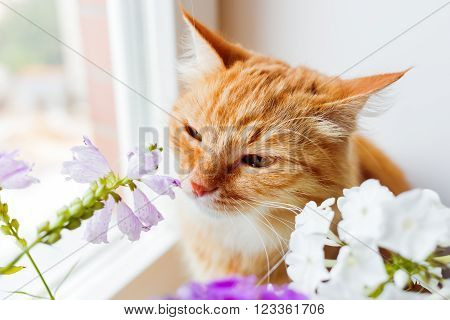 Ginger cat sniffs a bunch of flower. Cozy summer morning at home. ** Note: Shallow depth of field