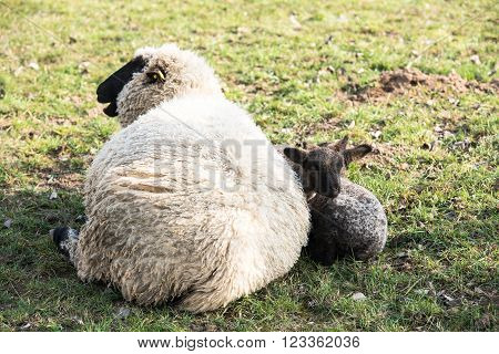 Mother sheep and her lamb in a meadow in early spring sun