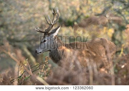 Red Deer Stag (Cervus Elaphus) in long grass at the edge of a forest