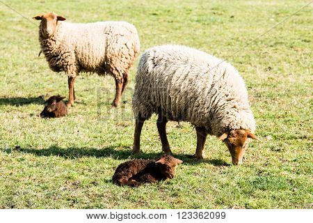 Mother sheeps and her lambs in a meadow in early spring sun